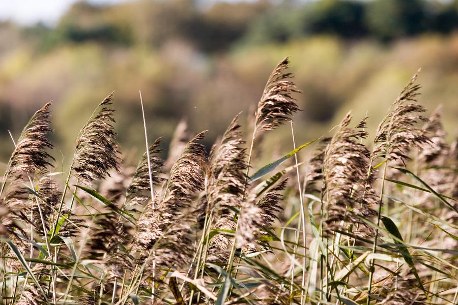 reeds-reedbed-NIEA
