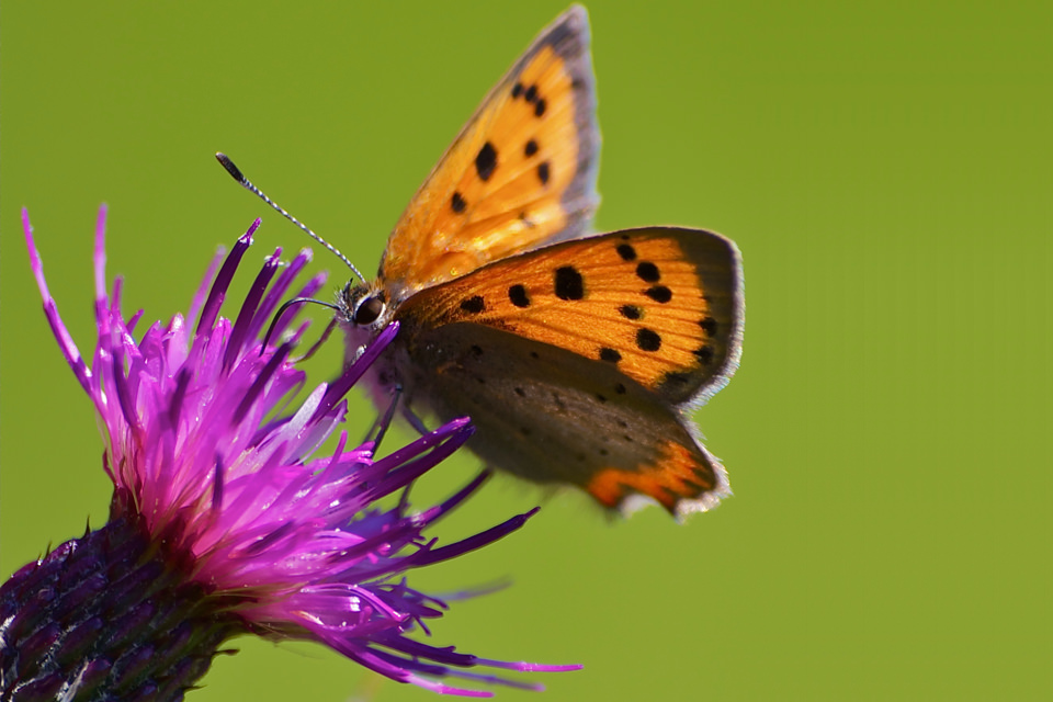 small-copper
